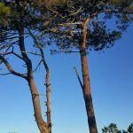 Blick auf Calvi Pinienwald